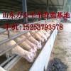 我场现有小尾寒羊肉牛犊出售需求者联系天升牛羊养殖场