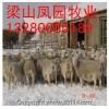 低价纯种杜泊羊小尾寒羊波尔山羊